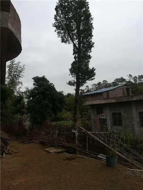 移植沉香樹