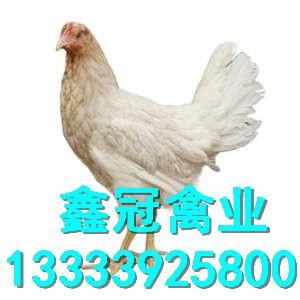 京粉一号竞博官网鸡