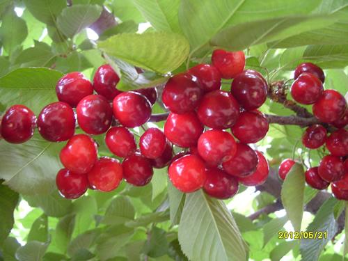 桑提娜大櫻桃