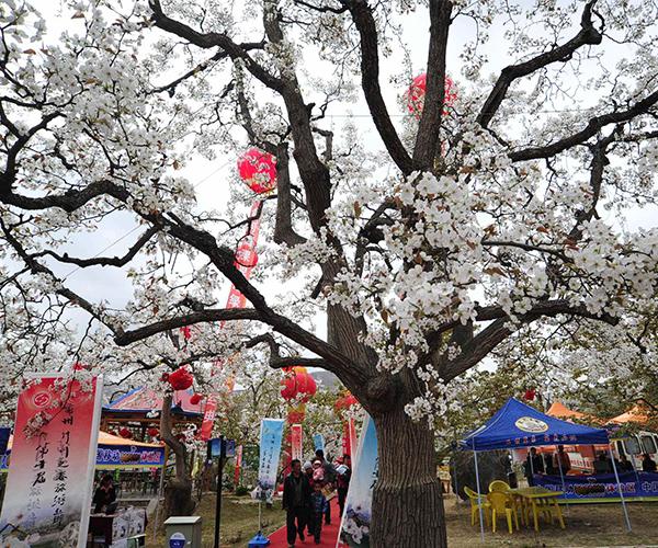 梨花节.jpg