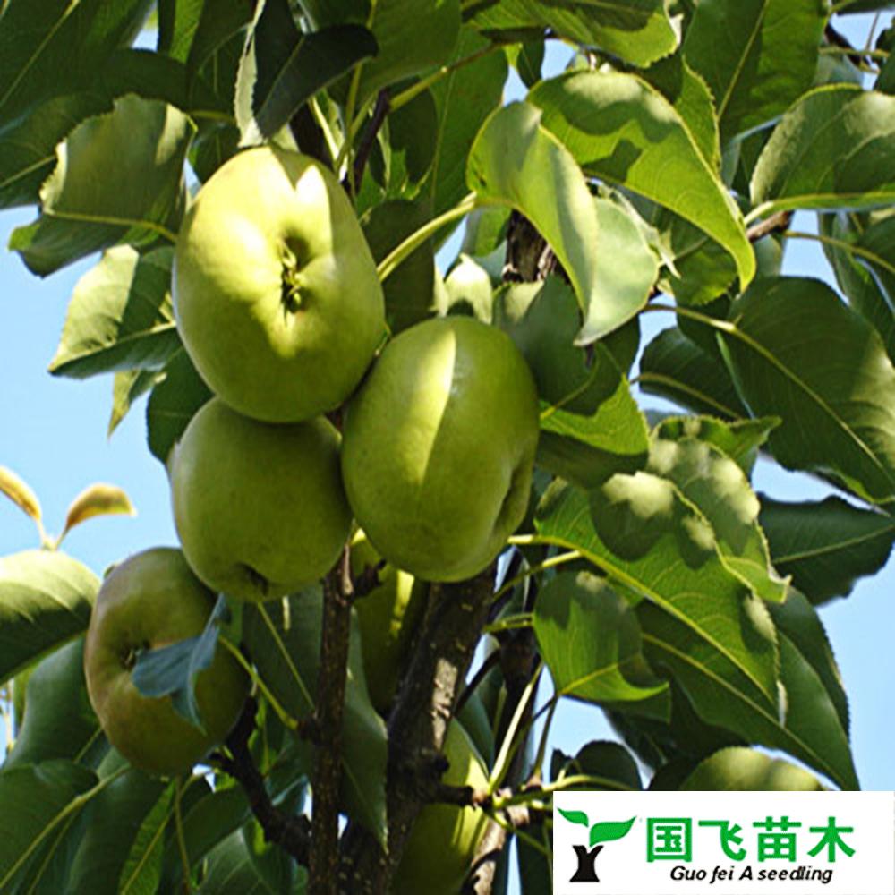 苹果梨树苗
