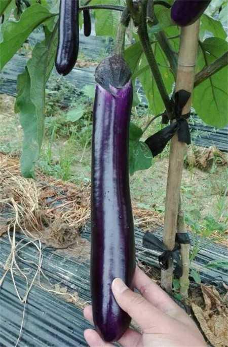 茄子种苗哪里买_茄子四季种植品种