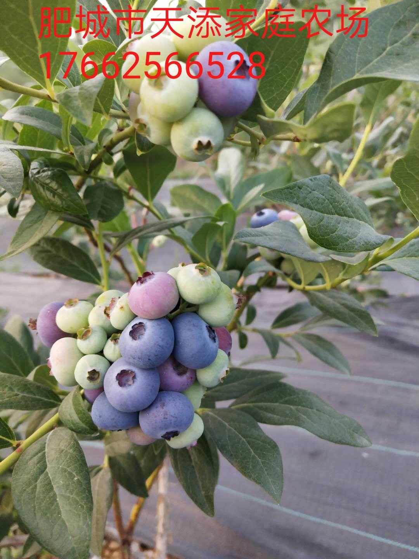 蓝莓成熟图