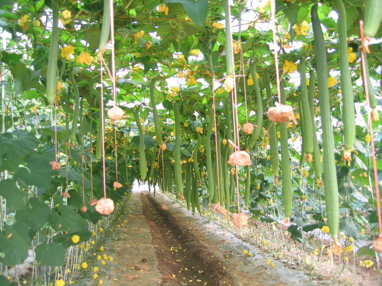 农业科技园-果实成熟了