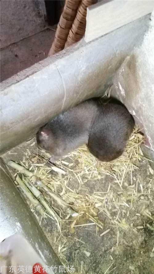 广州竹鼠养殖