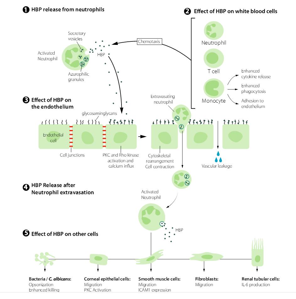 呼吸道腺病毒单克隆抗体
